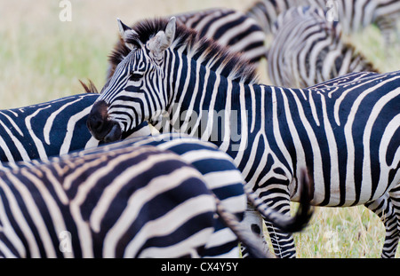 Amboseli National Park Kenya Africa safari zebra wild in reserve Amboseli close up of patterns - Stock Photo