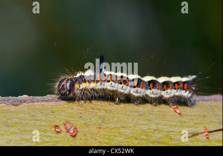 Grey Dagger Moth Caterpillar (acronicta psi) - Stock Photo