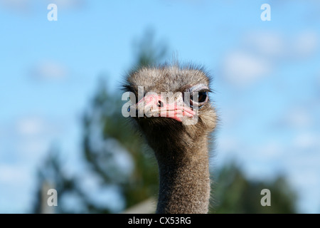 Portrait of an adult ostrich close up - Stock Photo