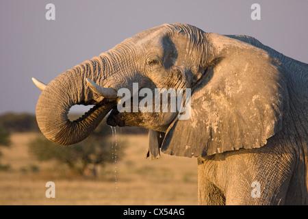African elephant (loxodonta africana) stops at sunset to drink during its migration. Nxai Pan, Kalahari, Botswan - Stock Photo