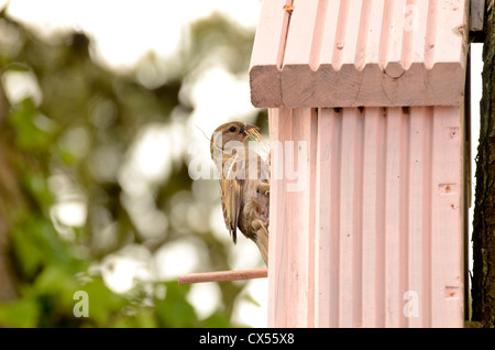 House Sparrow (Passer domesticus) adult female with nest material attending a nest box, Marloes, Pembrokeshire, - Stock Photo