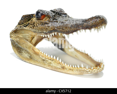 alligator head photographed on a white background - Stock Photo