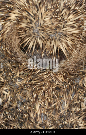 British Hedgehog curled into ball for protection - Stock Photo