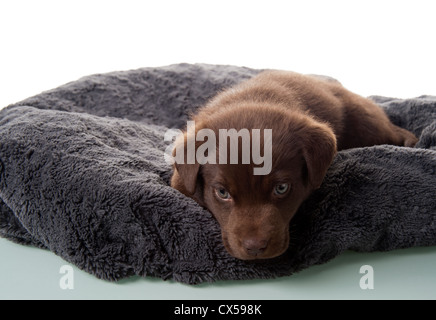 Six week old brown labrador retriever puppy on his dog bed - Stock Photo