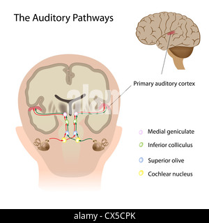 Auditory cortex stock photo 49260013 alamy the auditory pathways stock photo ccuart Image collections