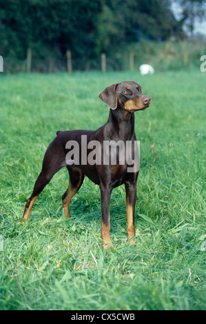 DOBERMAN PINSCHER / IRELAND - Stock Photo