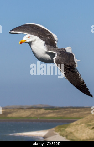 Close-up of an adult black-backed gull (Larus fuscus) in flight, with beach, sea and grassland in background, Texel, - Stock Photo