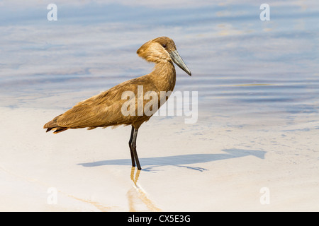 Hammerkop ( scopus umbretta) wading near Third Bridge, Moremi, Botswana - Stock Photo