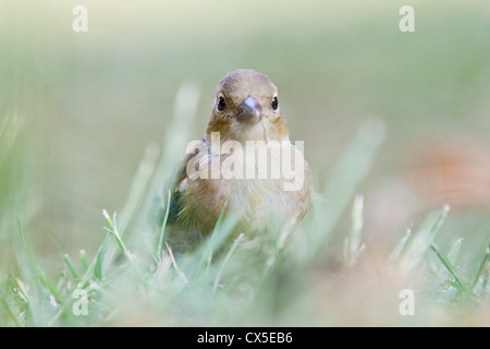 Young female chaffinch (Fringilla coelebs), Sussex, England. - Stock Photo