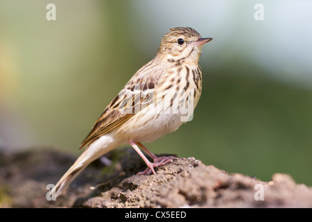 A meadow pipit (Anthus pratensis) standing on a rock in a Hungarian forest. - Stock Photo