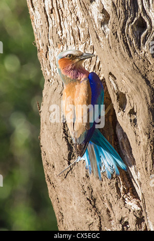 Lilac-breasted roller ( coracias caudatus) returning to its nest, Madikwe, |South Africa - Stock Photo