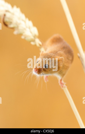 Harvest mouse (Micromys minutus) climbing an ear of wheat, Devon, England - Stock Photo