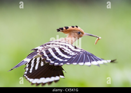 Eurasion hoopoe (Upupa epops) in flight carrying a freshly caught insect - Stock Photo
