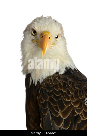 Head of bald eagle isolated over white background - Stock Photo