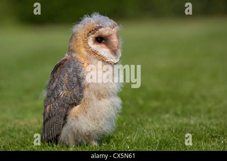 Barn Owl 9 weeks old - Stock Photo