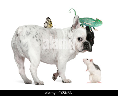 French bulldog with chameleon, rat and butterfly against white background - Stock Photo