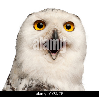 Female Snowy Owl, Bubo scandiacus, 1 year old, portrait against white background - Stock Photo