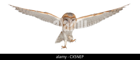 Barn Owl,Tyto alba, 4 months old, flying against white background - Stock Photo