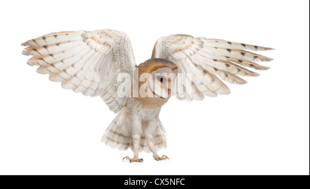 Barn Owl,Tyto alba, 4 months old, stretching wings against white background - Stock Photo