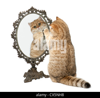 Golden shaded British shorthair, 7 months old, playing with mirror against white background - Stock Photo