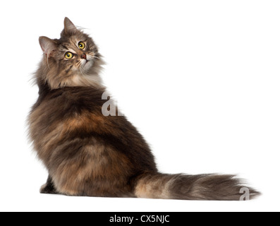 Norwegian Forest Cat, 1 and a half years old, sitting against white background - Stock Photo