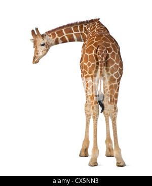 Somali Giraffe often known as Reticulated Giraffe (Giraffa camelopardalis reticulata) 2 and a half years old on - Stock Photo