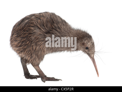 North Island Brown Kiwi, Apteryx mantelli, 5 months old, walking against white background - Stock Photo