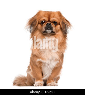 Pekingese, 18 months old, sitting against white background - Stock Photo