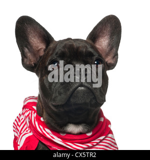 French Bulldog puppy, 6 months old, in red scarf against white background - Stock Photo