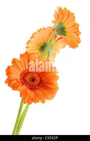 Gerbera. Flowers isolated on white - Stock Photo