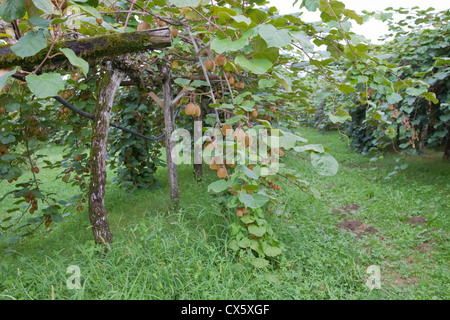 kiwi fruit actinidia deliciosa plantation new zealand. Black Bedroom Furniture Sets. Home Design Ideas