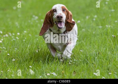 Basset hound running through a meadow toward camera - Stock Photo
