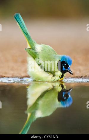 Green Jay (Cyanocorax yncas) adult bathing - Stock Photo