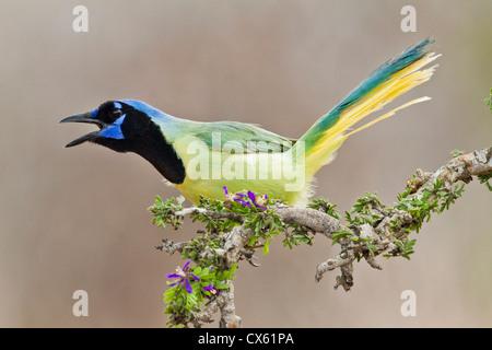 Green Jay (Cyanocorax yncas) adult calling - Stock Photo