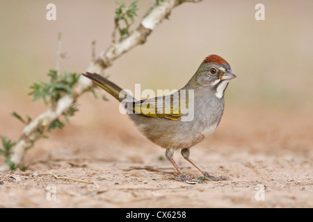 Green-tailed Towhee (Pipilo chlorurus) hunting for seeds Stock Photo
