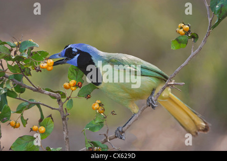 Green Jay (Cyanocorax yncas) adult eating anaqua fruits, Texas - Stock Photo