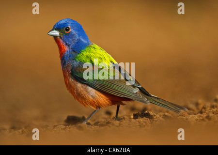 Painted Bunting (Passerina ciris) adult male at a south Texas pond - Stock Photo