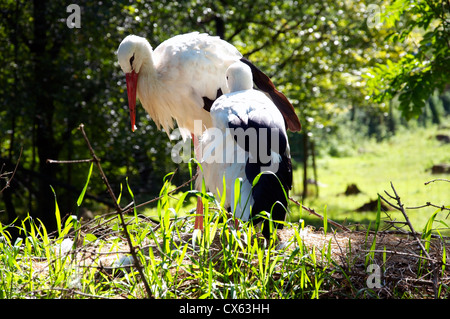 A couple of two White Storks (Ciconia ciconia) in their est - Stock Photo