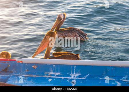 Pelican, Marina, Cabo San Lucas, Baja, Mexico - Stock Photo