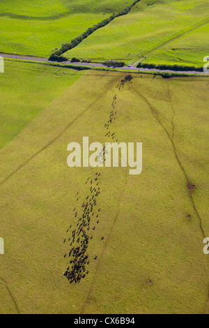 Cattle, Ranch Land, Kohala Mountain Road , Route 250, North Kohala, Big Island of Hawaii - Stock Photo