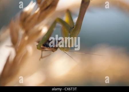 Praying / preying mantis eating a squash bug. - Stock Photo