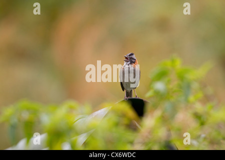 Rufous-collared Sparrow (Zonotrichia capensis) singing on a leaf on grounds of Savegre Mountain Lodge, Costa Rica. - Stock Photo