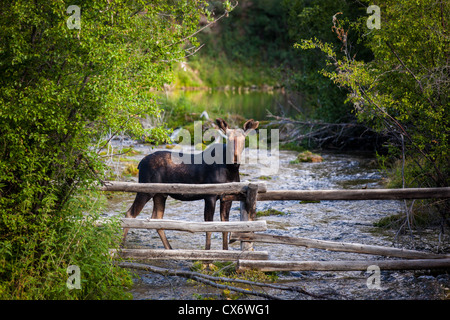 A young moose still in the velvet standing in a ice cold mountain spring creek, behind a log fence - Stock Photo