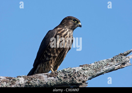 Merlin (Falco columbarius) perched on a branch at Buttertubs Marsh, Nanaimo, Vancouver Island, BC, Canada in August - Stock Photo