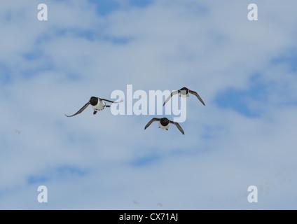 Little Auks in flight at colony in Spitsbergen, Svalbard. - Stock Photo