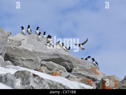 Little Auks on the cliffs at colony in Spitsbergen, Svalbard. - Stock Photo