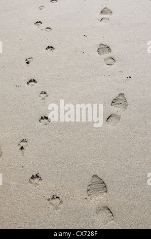 Concept of human activity - Footprints of dog and owner on sandy beach / shoreline. Perranporth beach, Cornwall. - Stock Photo