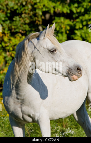 White Gray Arabian horse looking off to camera right - Stock Photo