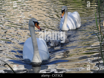 Baby cygnets swimming between protective parent swans. - Stock Photo