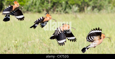 A high-speed time lapse photograph of a Eurasian hoopoe (Upapa epops) in flight